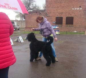 Black Russian Terrier SIBIRSKIJ MEDVED VYSHE RADUGI photo№2