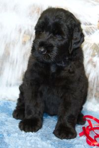 Black Russian Terrier MELODIYa VESNY ZAGADKA SFINKSA photo№3