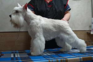 Цвергшнауцер белый / Miniature Schnauzer white : STAR`S OF WHITE NIGHT VENEZIA