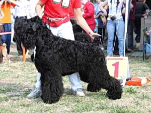 Black Russian Terrier CHERNYJ RYTSAR IZ RUSSKOJ DINASTII photo№2