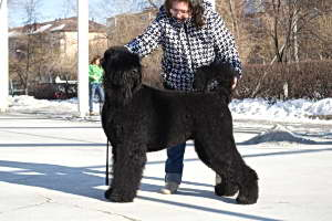 Black Russian Terrier GLAFIRA DOROFEEVNA photo№3