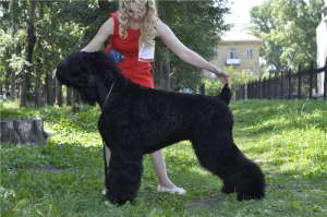 Black Russian Terrier SIBIRSKIJ MEDVED VITAMIN photo№2