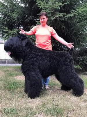Black Russian Terrier SIBIRSKIJ MEDVED VITAMIN фото№1