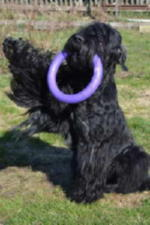 -Pedigree :   2 : mater :Black Russian Terrier MELODIYA VESNY