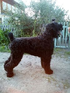 -Pedigree :   1 : mater :Black Russian Terrier ARIYaLETTA