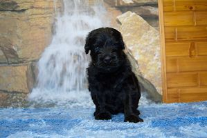 Black Russian Terrier MELODIYa VESNY ZAKON I PORYaDOK photo№3