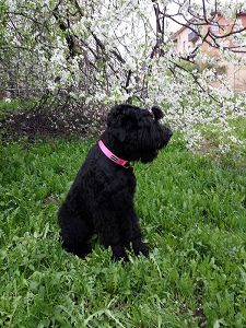 Black Russian Terrier MELODIYA VESNY GOLUBAYA NEZABUDKA photo№2