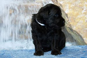 Black Russian Terrier MELODIYa VESNY ZAKON I PORYaDOK photo№2