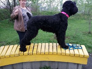 Black Russian Terrier MELODIYA VESNY GOLUBAYA NEZABUDKA photo№3