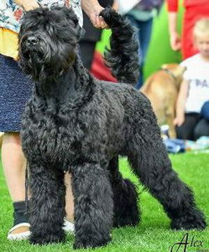 Black Russian Terrier MELODIYA VESNY EVRAZIYA photo№2