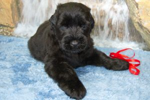 Black Russian Terrier MELODIYa VESNY ZAGADKA SFINKSA photo№2