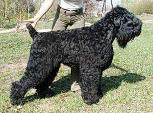 -Pedigree :   2 : sire :Black Russian Terrier SAMROSS RADOMIR SVETLEJSHIJ