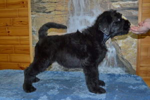 Black Russian Terrier MELODIYA VESNY GERMIONA фото№1