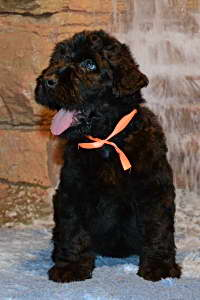 Black Russian Terrier MELODIYA VESNY VA BANK photo№3