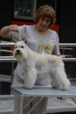 Щенок Цвергшнауцер Белого Окраса Русский Ассортик Кремлевские Куранты * Star`s Of White Night Venezia