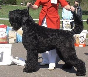 -Pedigree : 2 : sire :Black Russian Terrier RUSSKIJ STANDART S AVTOGRADA